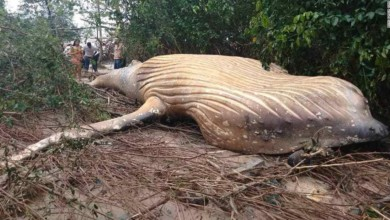 Why a humpback whale carcass washed up in a mangrove forest