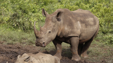 Photo of South Africa's rhino poaching drops during virus lockdown